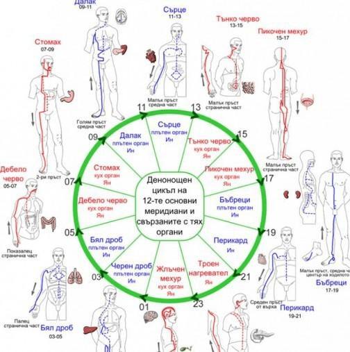 Денонощен цикъл на 12-те основни меридиани и свързаните с тях органи.